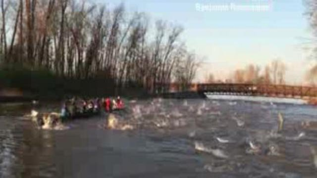 Asian Carp jumping from the water (Credit: KMOV)