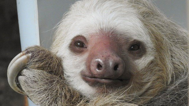 The Saint Louis Zoo is offering Valentine's Day sloth adoption packages. (Credit: JoEllen Toler, Saint Louis Zoo)