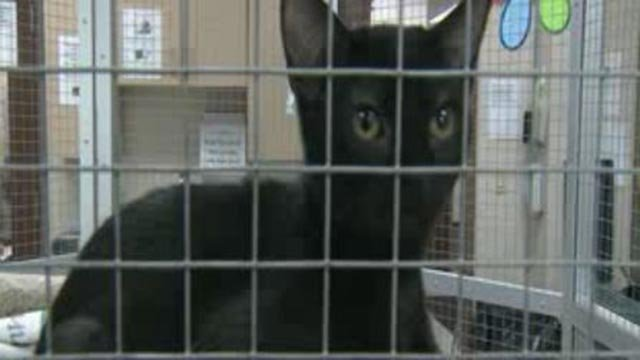 A cat at the St. Louis County Pet Adoption Center (Credit: KMOV)