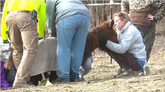 Diamond the horse was rescued from an icy pond in Edwardsville, Ill. Wednesday (Credit: KMOV)