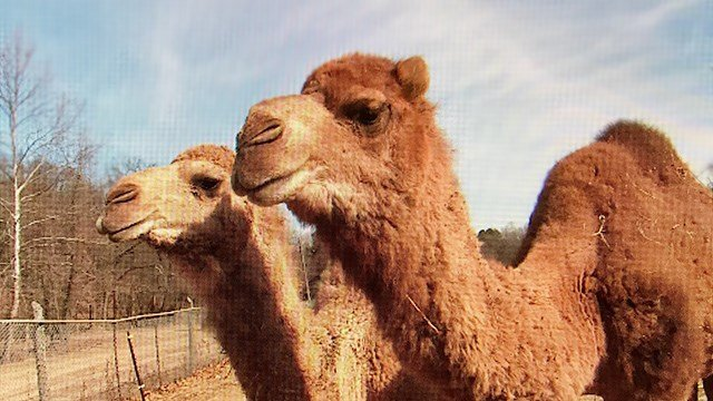 Two of the three camels who wandered out for a stroll in High Ridge. (Credit KMOV)