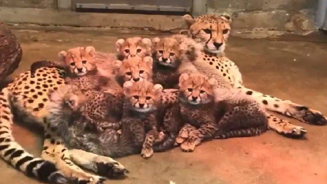 The 10-week-old Cheetah Cubs at the St. Louis Zoo (Credit: St. Louis Zoo)