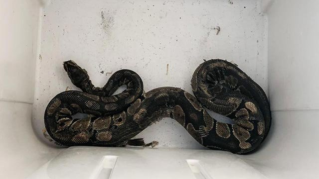 The ball python rescued from a St. Louis home Monday (Credit: St. Louis Fire Department)