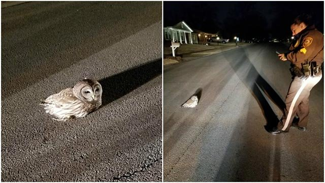 A St. Louis County officer was called to a street after an owl appeared to be in distress (Credit: St. Louis County South County Precinct / Facebook/ Resident)