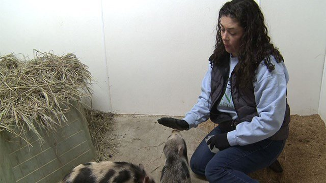 Director Amanda Mullen speaks with News 4 about the influx of pigs coming into the shelter ( Credit: KMOV)