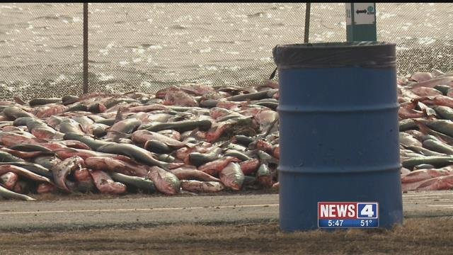 Hundreds of Asian Carp fish were removed from Creve Coeur Lake Sunday (Credit: KMOV)