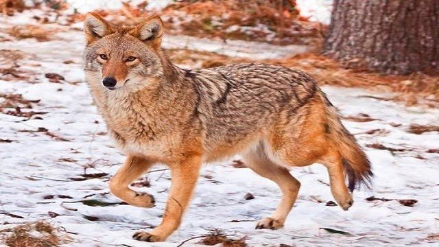 The City of Hazelwood is sending out a warning to local residents to take extra precautions due to recent reports of coyotes roaming in the area. (Credit: Humane Society of Missouri)