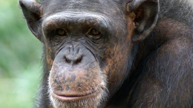Holly,19-year-old chimpanzee, dies at St. Louis Zoo