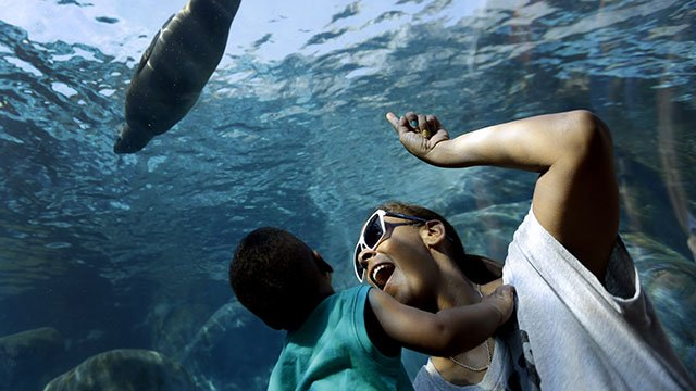 Danielle Kennedy and her son Kingston, 1, watch as a sea lion swims overhead in a Saint Louis Zoo exhibit in St. Louis.(Credit: AP)