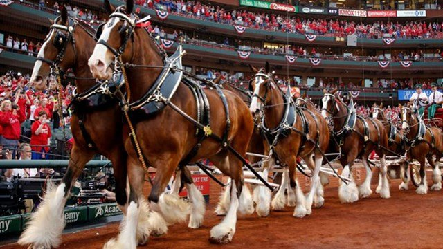 It's been ten years since the Budweiser Clydesdale were first moved into Warm Springs Ranch, exactly half way between St. Louis and Kansas City. (Credit: KMOV)
