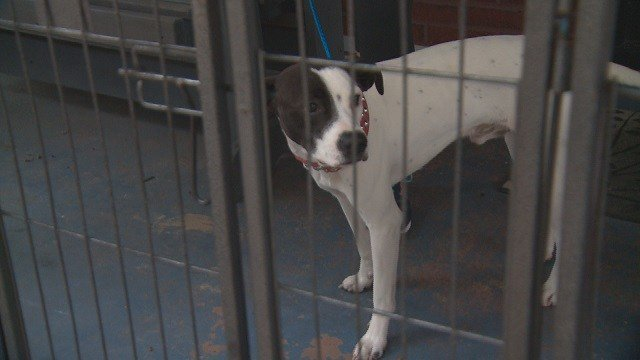 Dick the dog's escapes have created problems for neighbors in Affton. (Credit: KMOV)
