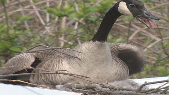 Canada Goose (Credit: KMOV)