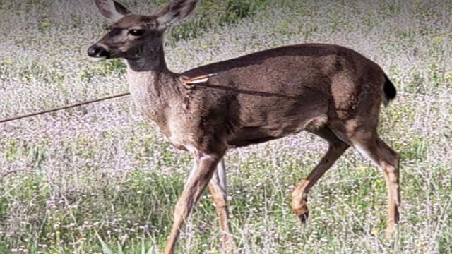 OSP is seeking public assistance with information regarding Multiple deer that were shot with arrows. (Credit: Oregon State Police)