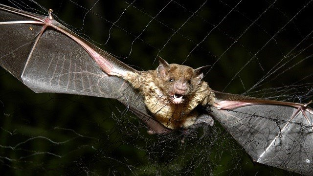 A vampire bat is caught in a net in Aracy, in the northeast Amazon state of Para, Brazil, on Thursday, Dec. 1, 2005. (Credit: AP Photo/Mario Quadros)