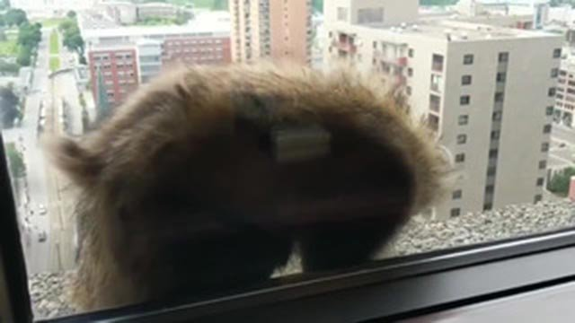 A raccoon as it climbed the side of a Minnesota building Tuesday (Credit: CNN)