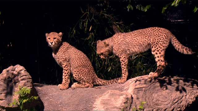 Eight cheetah cubs are among the attractions drawing people to the St. Louis Zoo. Credit: KMOV