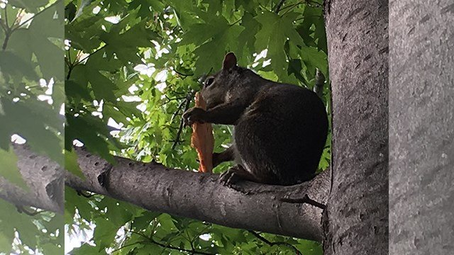 'Pizza Squirrel' was caught eating a slice of Imo's pizza this past weekend in Forest Park. (Credit: Evan and Laura Fluty of St. Peter's)