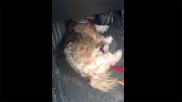 A video showing dogs in distress inside a car at the Wentzville Flea Market has gone viral. Credit: KMOV