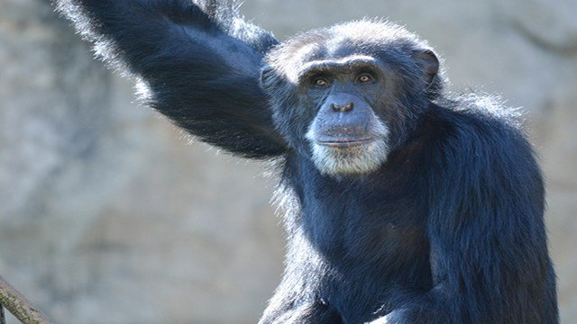 Just in time for World Chimpanzee Day on July 14, a 26-year-old male chimpanzee, Kijana, is making his public debut at the Saint Louis Zoo. (Credit: Robin Winkelman/Saint Louis Zoo)