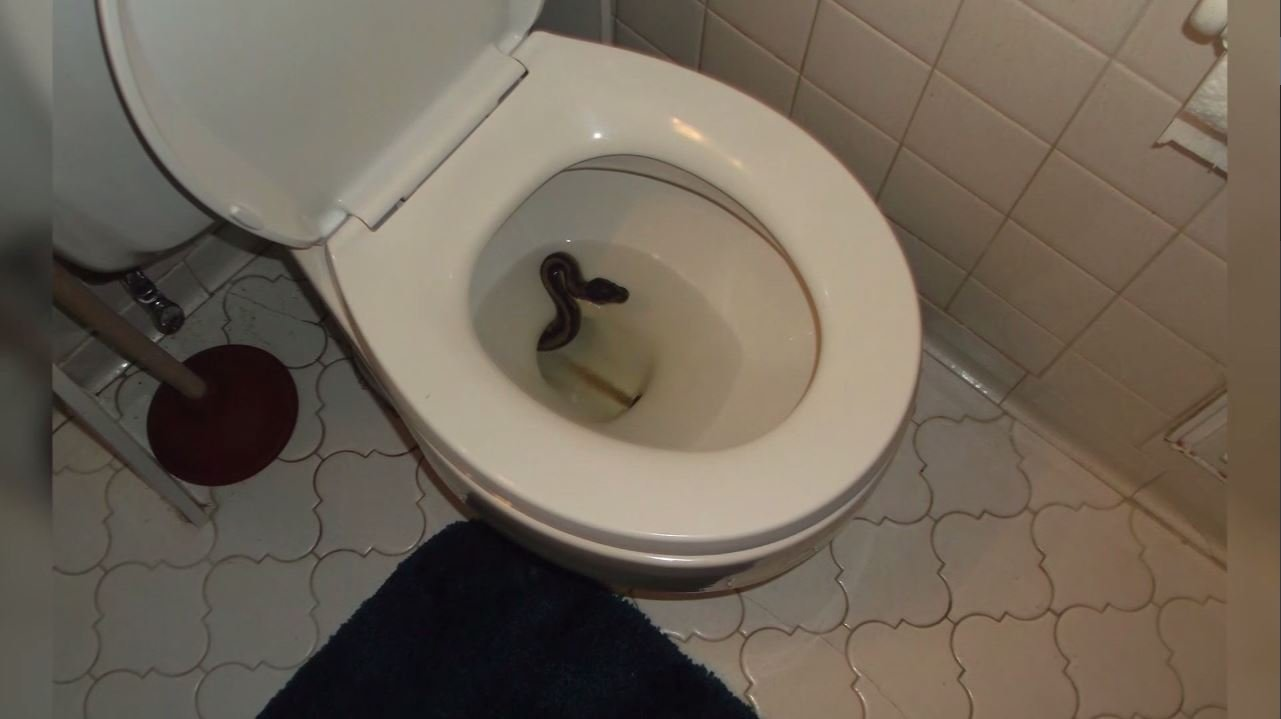 James Hooper discovered this snake, a ball python, in his toilet. (Credit: WTKR)
