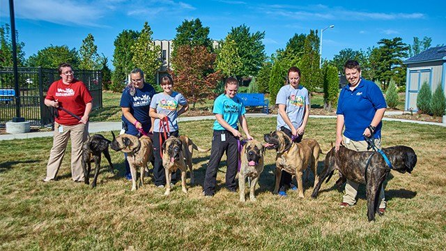 The Humane Society gained custody of six Mastiff dogs rescued from an Aurora, Mo. property. (Credit: HSMO)