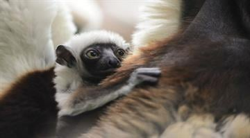 A female baby Coquerel's sifaka, an endangered lemur species from Madagascar, was born at the Saint Louis Zoo's Primate House on January 21, 2014, and can now be seen by visitors. By Stephanie Baumer