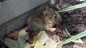 Baby bunnies living in Mark Schnyder's backyard By Afton Spriggs