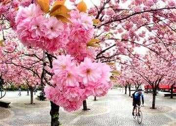 A man cycles under cherry blossoms on a warm and sunny day in downtown Frankfurt, Germany, Monday, April 11, 2011. (AP Photo/Michael Probst) By Michael Probst