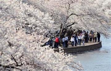Visitors walk along the cherry blossoms lining the Tidal Basin in Washington, Monday, April 4, 2011, during the 2011 National Cherry Blossom Festival. (AP Photo/Carolyn Kaster)r By Carolyn Kaster