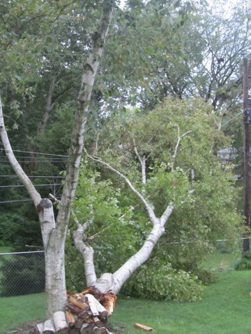 Weekend storms knock over a birch tree in a residential neighborhood of Maryland Heights, Missouri By Picasa 3.0