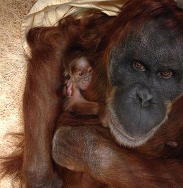 Merah, a 45-year-old Sumatran orangutan, gave birth Sunday to a female. By Stephanie Baumer