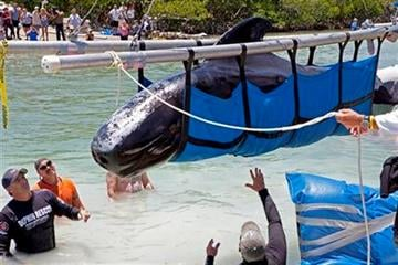 FILE PHOTO -- In this file photo, marine mammal rescuers from the Marine Mammal Conservancy and other organizations load a pilot whale on a boat Saturday, May 7, 2011, at Cudjoe Key, Fla. (AP Photo/Florida Keys News Bureau, Julie Botteri) By Julie Botteri