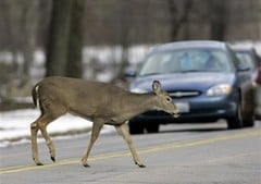 A white tailed deer crosses in front of traffic in the Cleveland Metroparks reservation in Berea, Ohio, Friday, Nov. 28, 2008. (AP Photo/Mark Duncan) By Mark Duncan