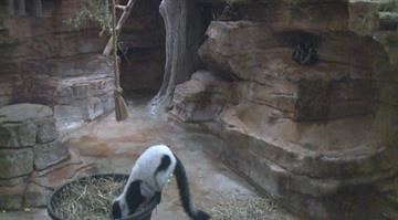 The black and white Lemurs with big neon eyes and fuzzy white sideburns were born on May 14 and have awed visitors at the zoo. By Brendan Marks