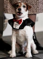 """Uggie, from the film """"The Artist"""", arrives at the first annual Golden Collar Awards in Los Angeles, Monday, Feb. 13, 2012.  The Golden Collar awards recognize the work of dogs in film and television. (AP Photo/Matt Sayles) By Matt Sayles"""