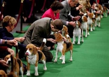 Keith Paladino of Lodi, N.J., second from left, works with a 15 inch Beagle as they line up in the ring for competition at the 136th annual Westminster Kennel Club dog show, Monday, Feb. 13, 2012, in New York. (AP Photo/Craig Ruttle) By Craig Ruttle