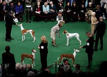 Ibizan Hounds are shown the ring at the 136th annual Westminster Kennel Club dog show, Monday, Feb. 13, 2012, in New York. (AP Photo/Craig Ruttle) By Craig Ruttle