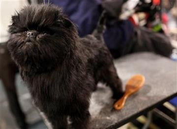 Banana Joe, an affenpinscher, owned by Zoila Truesdale and Mieke Cooymans, waits in the grooming table at the 136th annual Westminster Kennel Club dog show, Monday, Feb. 13, 2012, in New York. (AP Photo/Craig Ruttle) By Craig Ruttle
