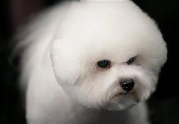 Phil, a Bichons Frises, waits for competition at the136th annual Westminster Kennel Club dog show, Monday, Feb. 13, 2012, in New York. (AP Photo/Craig Ruttle) By Craig Ruttle