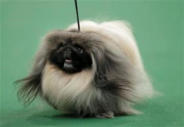A Pekingese named Malachy walks across the floor during the judging of the toy group at the 136th annual Westminster Kennel Club dog show in New York, Monday, Feb. 13, 2012. Malachy went on to win the group. (AP Photo/Seth Wenig) By Seth Wenig