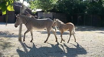 The zoo announced that a Grevy's zebra foal named Makena was born on June 22. By Stephanie Baumer
