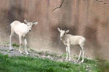 The zoo has announced the arrival of a new mal and female Addax By Stephanie Baumer