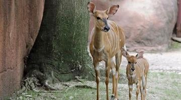The St. Louis Zoo announced the arrival of a female lowland nyala By Stephanie Baumer