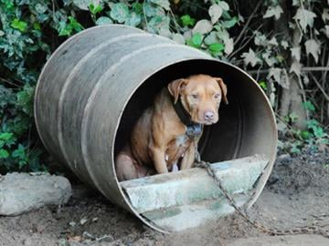 Many are emaciated with scars and wounds consistent with dog fighting, and some were tethered by chains and cables that were attached to cinder blocks and car tires. By Belo Content KMOV