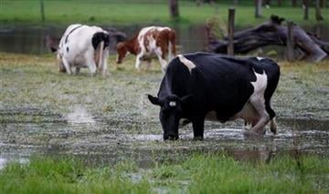 In this photo taken May 18, 2011, cows graze in a flooded farm in Lenguazaque, Colombia. Torrential rains, floods and landslides have claimed near 100 lives throughout the country this year. (AP Photo/Fernando Vergara) By Fernando Vergara