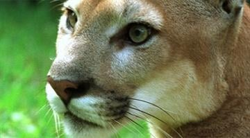 File photo of a cougar By Brendan Marks