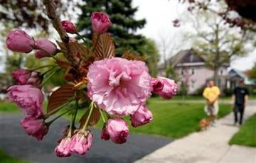 In this photo taken May 10, 2011, flowers bloom on a tree in Akron, N.Y. Allergy specialists around the country all say this season is or has been a bad one. (AP Photo/David Duprey) By David Duprey
