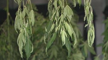 Nearly 100 pot plants were pulled from a home in a quiet Franklin County neighborhood on Thursday. But charges are expected to be delayed against two suspects because of a backlog at the Missouri state crime lab. By Brendan Marks