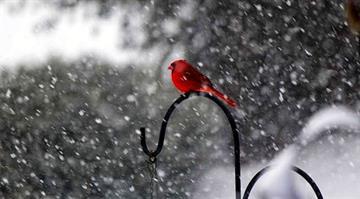 Cardinal in a yard in Belleville, IL By Jennifer Greenley-Malone