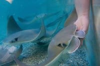 Cownose stingray feeding - Living Exhibits photo By KMOV Web Producer